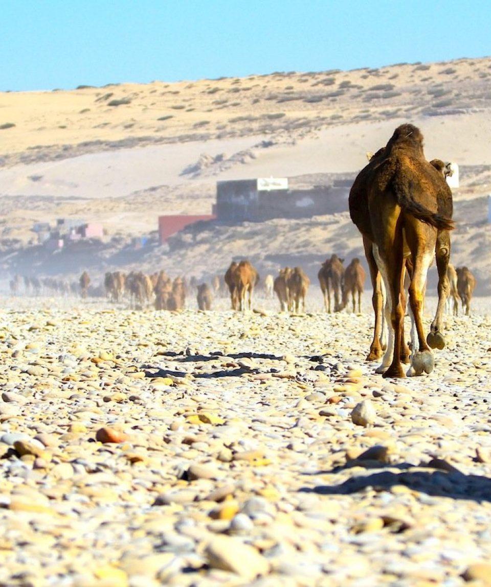 Camels at Tamri